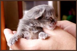 Zielone Migdały, hodowla kotów Norweskich Leśnych, hodowla kotów rasowych, kocięta norweskie leśne na sprzedaż