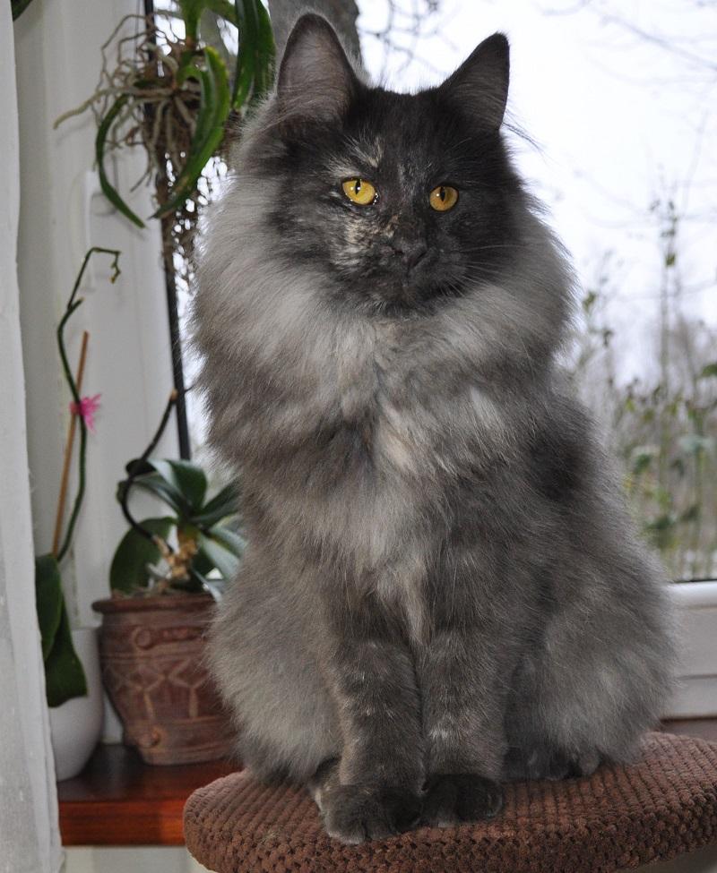 Kotki Zielone Migdałypl Hodowla Kotów Norweskich Leśnych Koty